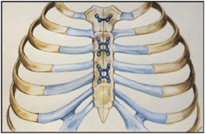 chest wall diagram
